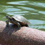 Kura-Kura Yang Selalu Bersembunyi Masuk Ke Dalam Cangkang