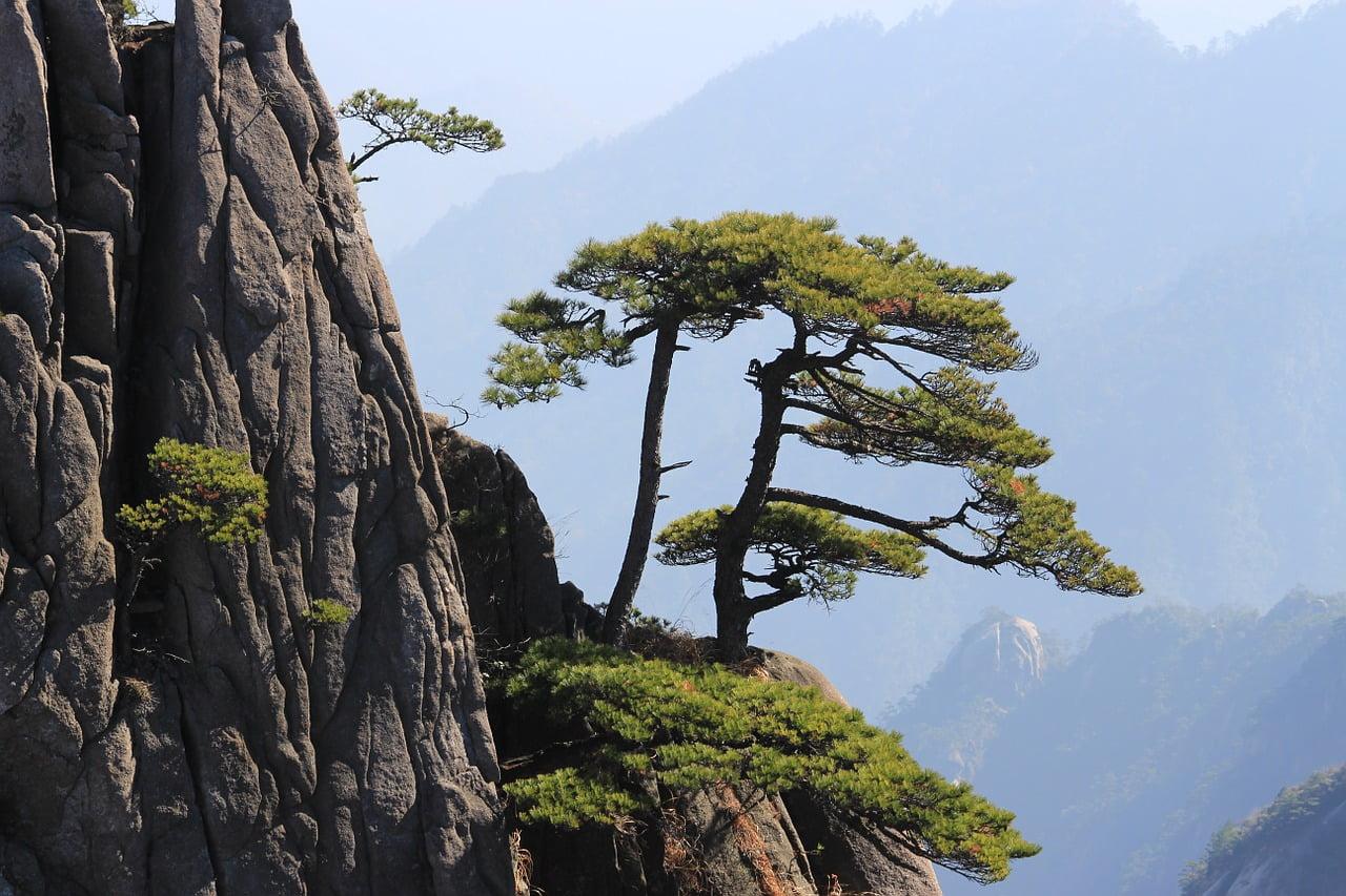 Pohon Huangshan Tiongkok